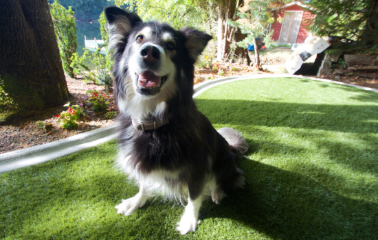 Synthetic Grass that is Pet Friendly